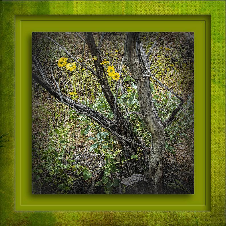 SCVN Elementary March 19, 2015-6629-brittlebush blog