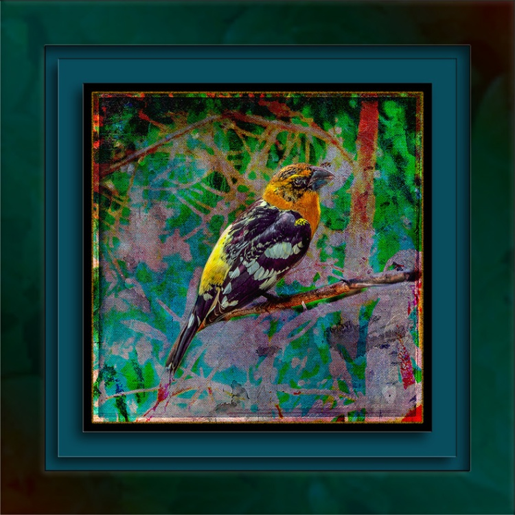 Black-headed Grosbeak (1 of 1) Grunge Art blog