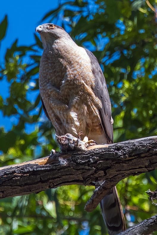 Cooper's Hawk-1236 blog