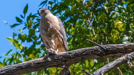 Cooper's Hawk-1237 blog
