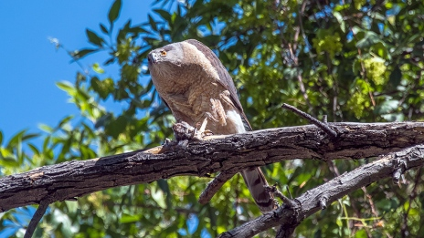 Cooper's Hawk-1239 blog