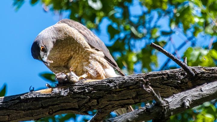 Cooper's Hawk-1240 blog