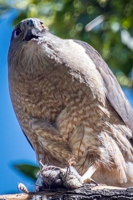 Cooper's Hawk-1241 blog