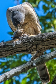 Cooper's Hawk-1245 blog
