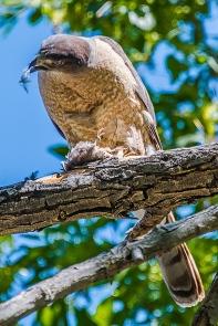 Cooper's Hawk-1246 blog