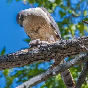 Cooper's Hawk-1247 blog