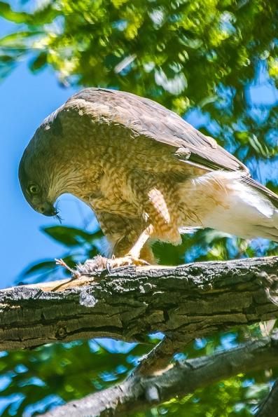 Cooper's Hawk-1248 blog