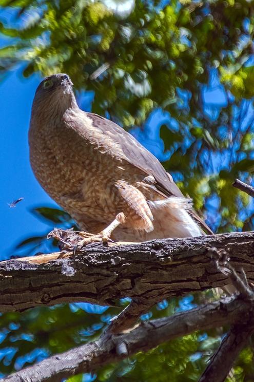 Cooper's Hawk-1251 blog