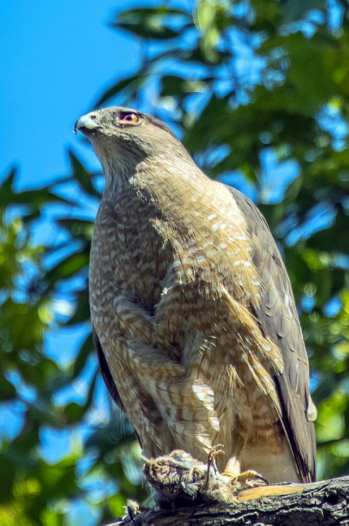 Copper's Hawk-1235 blog II