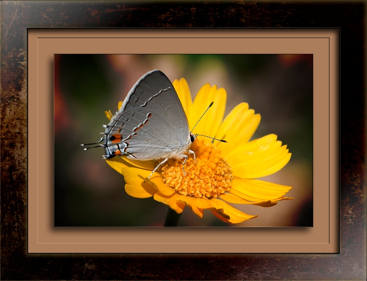 Gray Hairstreak on Desert Margold_my yard-20170404_0001_bil blog
