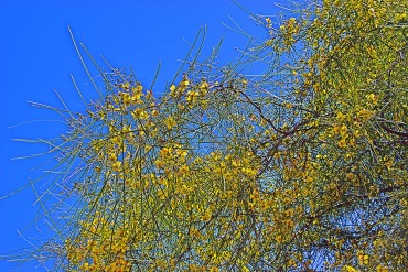 Palo Verde Blossons