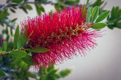 Bottle Brush-1483 blog