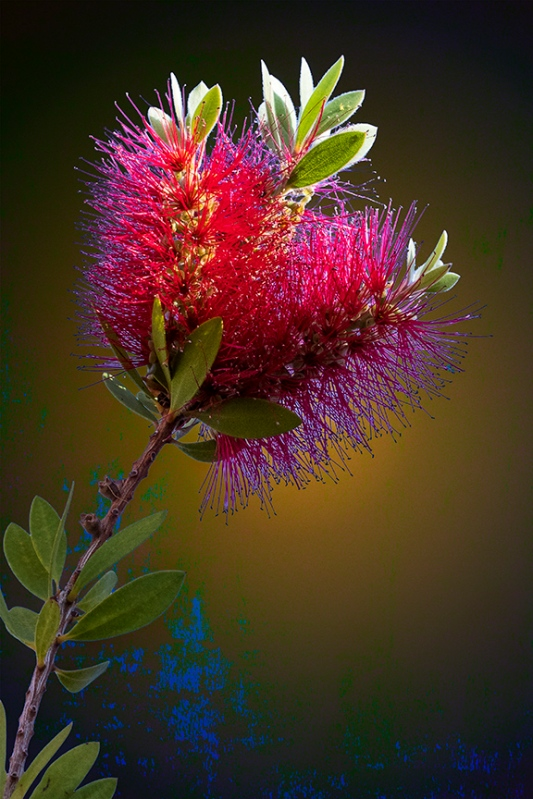 Bottlebrush-1489 blog