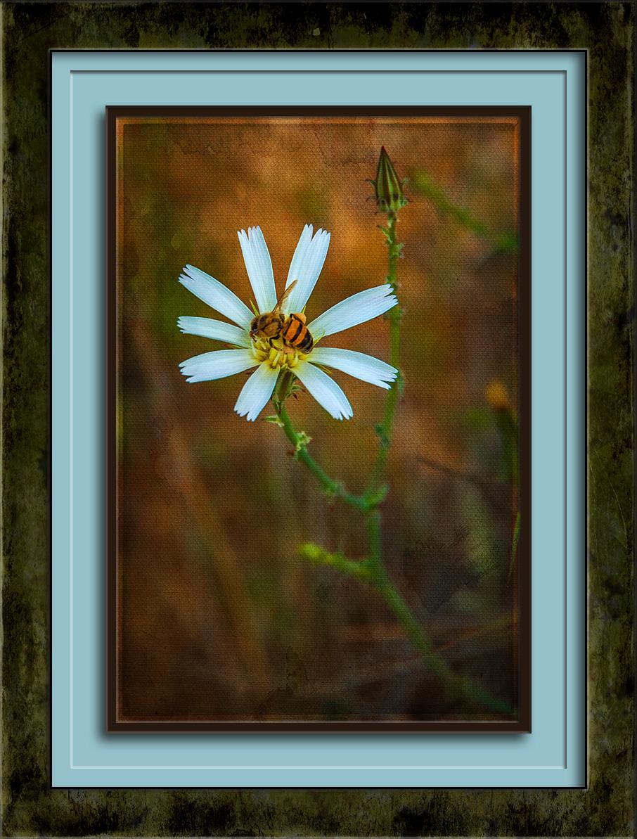 Desert Chicory-6391 art blog