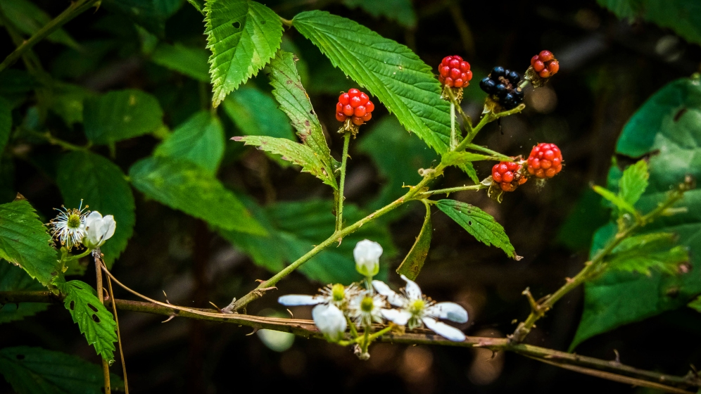 DSC_1592Blackberries