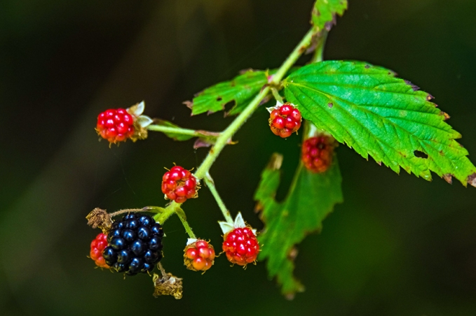 DSC_1593Blackberries blog