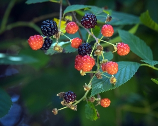 DSC_1594Blackberries blog