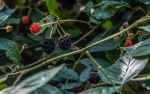 DSC_1595Blackberries blog