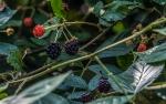 DSC_1595Blackberries blog