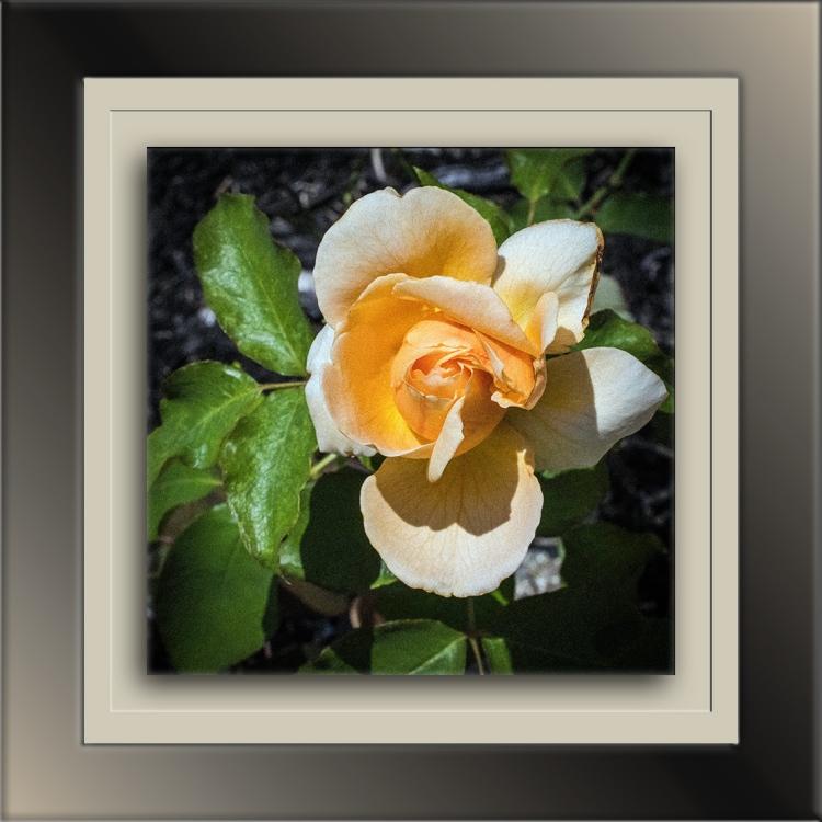 DSC_1606 Rose blog