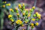 Early Aspen sunflower-1665blog