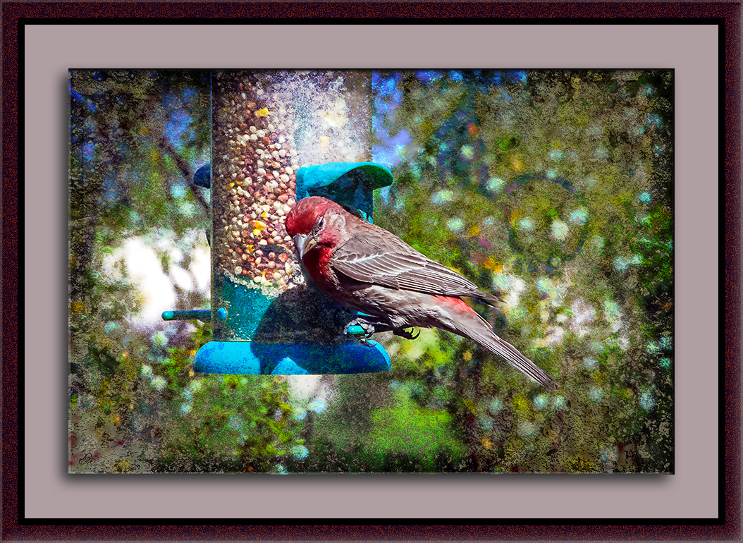 House Finch-0028 blog II