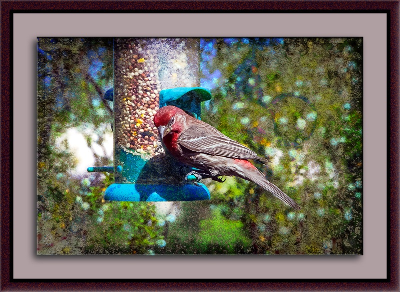 House Finch-0028 blog II