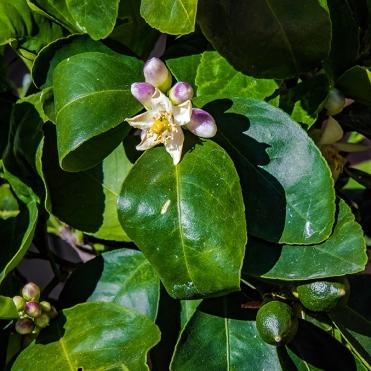 Lemon Blossom-1419 blog