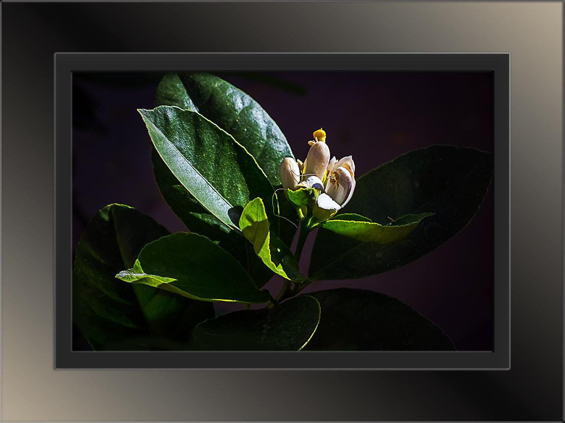 Lemon Blossom-1478 II blog