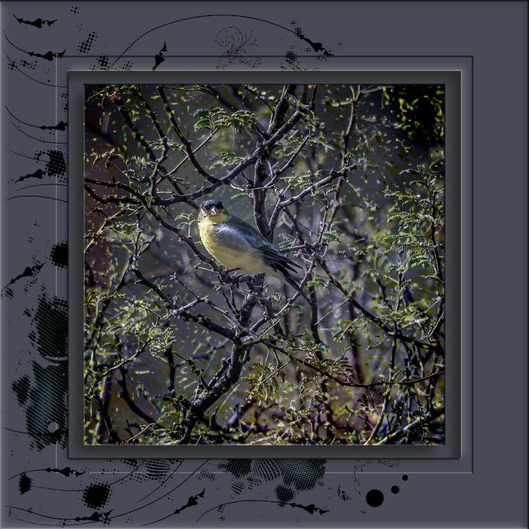 Lesser Goldfinch-0676 art blog