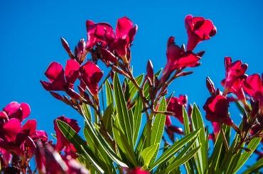 Oleander Blossom-1420 blog