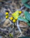 Orange Sulphur Butterfly-1679blog