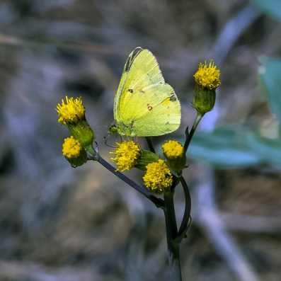 Orange Sulphur on Aspen Sunflower