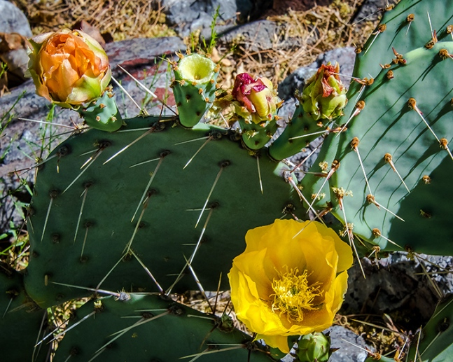 Prickly Pear Blossom-1417 blog
