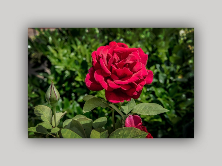 Red Rose 2015 05 02_0439_edited-2 blog