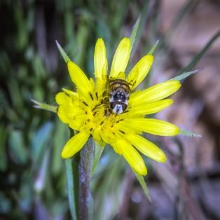 Bee on Silverpuff