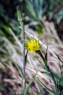 Silverpuff Blossom