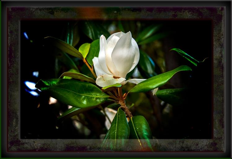 Southern Magnolia Art DSC_2689 blog