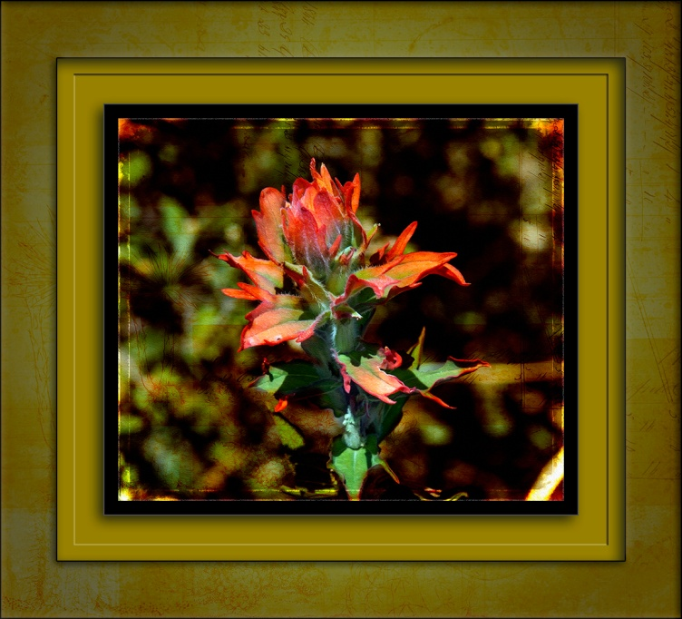 Indian Paintbrush art blog