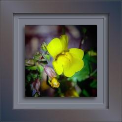 Monkeyflower Yellow-1929-1 blog
