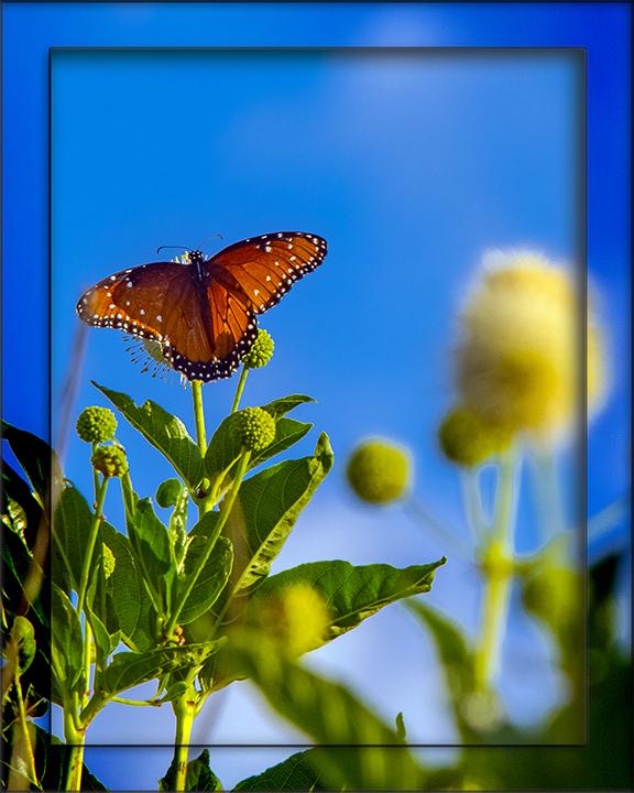 Queen Butterfly-1717 blog