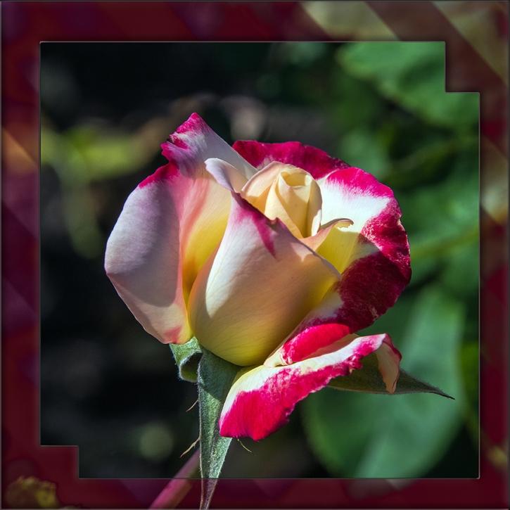 Rose-1955 art blog