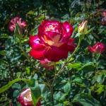 Rose Garden-1954 blog