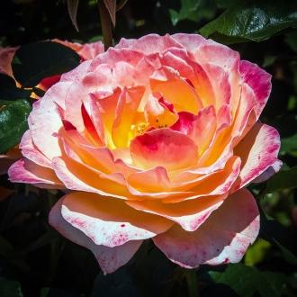 Rose Garden-1958 blog
