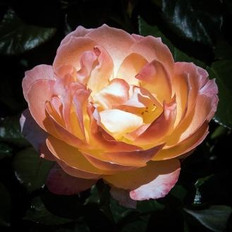 Rose Garden-1959 blog