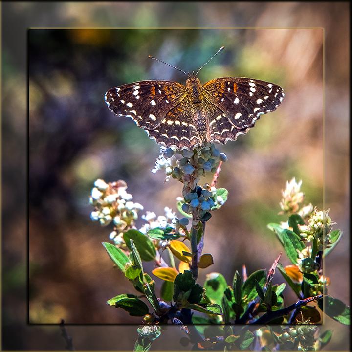 Texas Crescent Butterfly-1909-2 blog