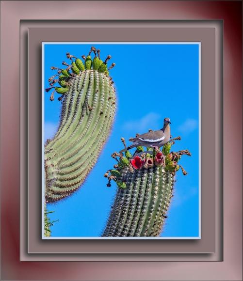 White-Winged Dove on Saguaro-1764 blog
