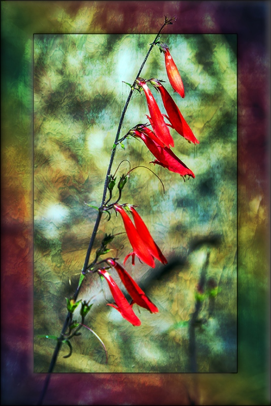 Bearded penstemon-2883 art blog