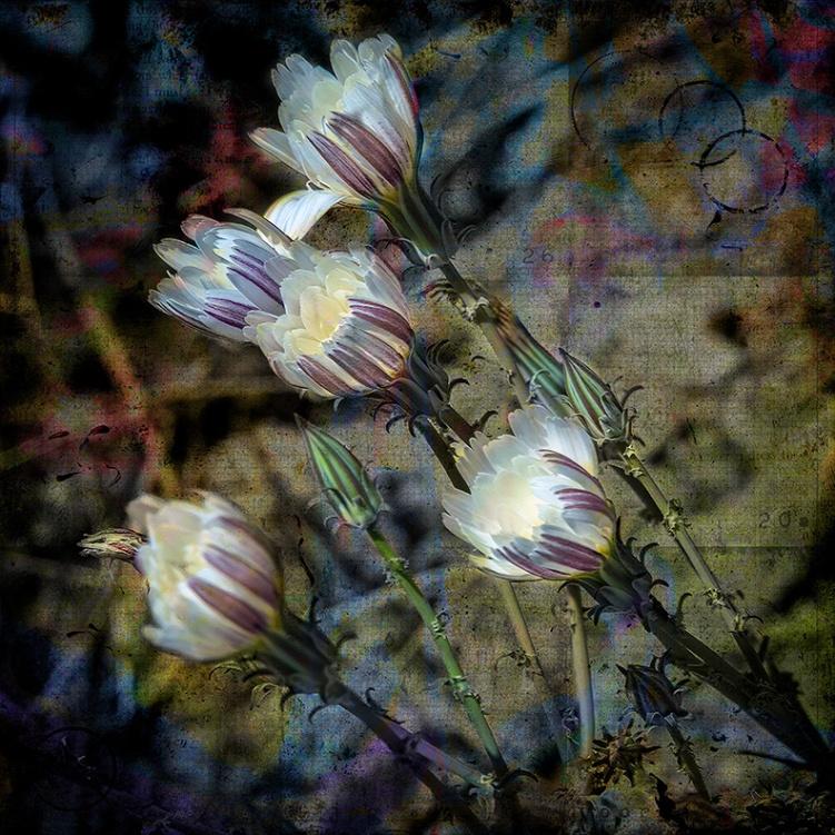 Desert Chicory-1303 art blog