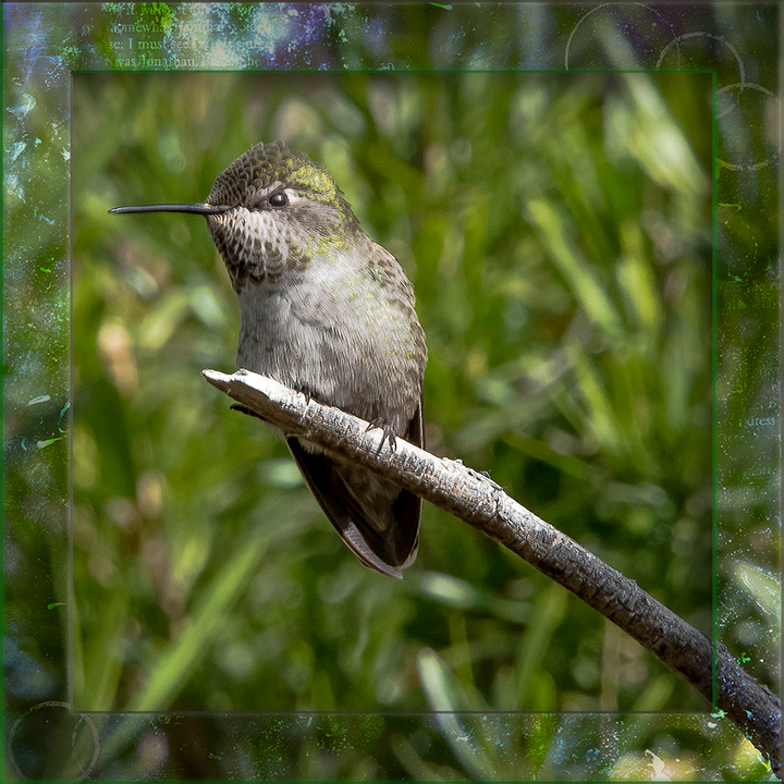 Female Anna's Hummingbird-framed blog